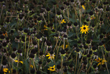Last Blooms of a Garden Patch of Black-Eyed Susans Photographic Print by Maria Mosolova