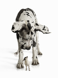 Great Dane Looking down at Chihuahua Photographic Print by Gandee Vasan
