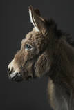 Stanley the Donkey Fotografie-Druck von Peter Samuels
