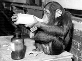 Milky Monkey Stampa fotografica di Fox Photos