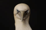 Gannet (Morus Bassanus) Portrait, St Tiggywinkles, Buckinghamshire, UK Photographic Print by Les Stocker