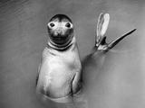Posing Seal Fotografie-Druck von Three Lions