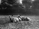 Wapiti Deer Photographic Print by Hulton Archive