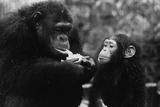 Hungry Chimp Stampa fotografica di Evening Standard