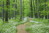 Footpath through Ramsons. Photographic Print by Martin Ruegner
