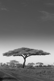 An Acacia Tree in Serengeti National Park, Tanzania Photographic Print by Mint Images - Art Wolfe