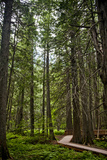 A Boardwalk between Tall Trees. Photographic Print by Michael Hanson
