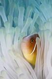 Pink Skunk Clownfish Fotografie-Druck von liquid kingdom - kim yusuf underwater photography