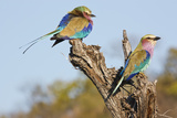 Lilac Breasted Roller Reproduction photographique par Just John Photography
