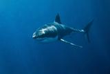 Gran tiburón blanco Lámina fotográfica por John White Photos