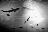 Squales Fish Fotografie-Druck von xamah image