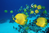 School of Butterfly Fish Swimming on the Seabed Reproduction photographique par Georgette Douwma
