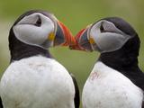 2 Atlantic Puffins Touching Beaks Reproduction photographique par Jonathan Lewis