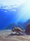Green Sea Turtle by Reef Fotografie-Druck von Chris Stankis