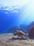 Green Sea Turtle by Reef Photographic Print by Chris Stankis