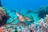 Grüne Meeresschildkröte Fotografie-Druck von Wendy A. Capili