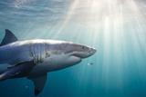 Großer weißer Hai Fotografie-Druck von Stephen Frink