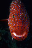 Jewel Grouper, Cephalopholis Miniata Photographic Print by Jeff Rotman