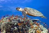 Hawksbill Sea Turtle Fotografisk tryk af Georgette Douwma