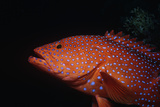 Jeweled Grouper Photographic Print by Jeff Rotman