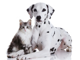 Dalmatian Dog and Norwegian Forest Cat Fotografisk tryk af Tetsuo Morita