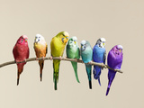 Rainbow Row of Budgies Sat on a Branch Fotografisk tryk af Walker and Walker