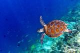 Sea Turtle Fotografisk tryk af Shan Shui