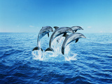 Bottle-Nose Dolphins (Tursiops Truncatus) Breaching Photographic Print by Steve Bloom