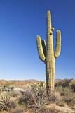 Usa, Arizona, Phoenix, Saguaro Cactus on Desert Fotografisk trykk av Bryan Mullennix