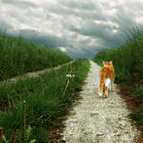 Lone Red and White Cat Walking along Grassy Path Fotografisk trykk av Axel Lauerer