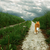 Lone Red and White Cat Walking along Grassy Path Stampa fotografica di Axel Lauerer