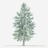 Illustration of Evergreen Abies Borisii-Regis (King Boris Fir) Tree Lámina fotográfica por Dorling Kindersley