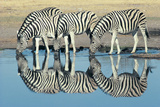Burchells Zebra (Equus Burchelli) Drinking at Waterhole, Etosha, Namibia Fotografisk tryk af Digital Vision.