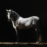 Portrait of Standing Grey Horse Lámina fotográfica por Henrik Sorensen