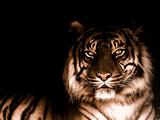 Portrait of Tiger Fotografisk tryk af  FarzyB