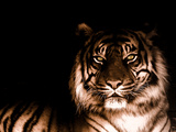 Portrait of Tiger Premium Photographic Print by  FarzyB