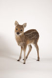 Chinese Water Deer Photographic Print by Les Stocker