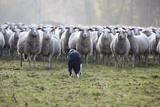 Flock of Sheep and Dog Premium fotoprint van  MarcusRudolph.nl