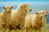 Ovelhas Lámina fotográfica por Eduardo Amorim