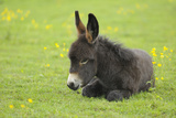 Young Donkey in Meadow, Baden-Wurttemberg, Germany Fotografie-Druck von Raimund Linke