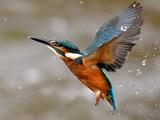 Martin-pêcheur Reproduction photographique par morgan stephenson