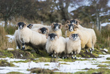 Black-Faced Sheep, Group in Snow, Scotland Fotografisk tryk af Mike Powles