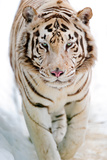 Tigre blanco Lámina fotográfica por Picture by Tambako the Jaguar