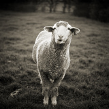 Sheep Chewing Cud Photographic Print by Danielle D. Hughson