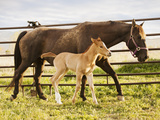 Usa, Utah, Lehi, Foal with Mother Photographic Print by Mike Kemp