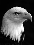 Haliaeetus Leucocephalus (Bald Eagle) Stampa fotografica di Saffron Blaze