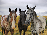 Three Appaloosa Horses Photographic Print by Photos by By Deb Alperin
