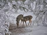 Does Winter Woes Fotografisk tryk af Philip Kuntz, NW Visions