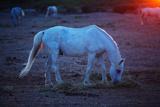 White Horse Fotografisk trykk av Aleksandr Morozov