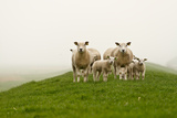 Moutons Reproduction photographique par GettyImages Flickr nldazuu